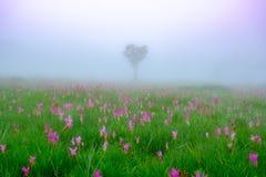 Flores de Siam Tulip en la tierra imagen de archivo libre de regalías