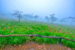Flores de Siam Tulip en la tierra imágenes de archivo libres de regalías