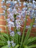 Flores de sino azuis fotos de stock royalty free