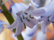 Flores de sino azuis Foto de Stock