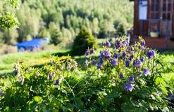 Flores de sino azuis no prado perto da casa Imagens de Stock Royalty Free