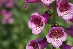 Flores de sino cor-de-rosa Imagens de Stock Royalty Free