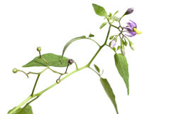 Flores de Snakeberry Imagens de Stock