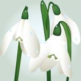 Flores de Snowdrop Fotografía de archivo