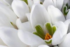 Flores de Snowdrop Fotos de archivo