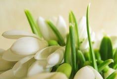 Flores de Snowdrop Imagen de archivo