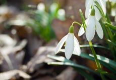 Flores de Snowdrop Foto de archivo