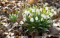 Flores de Snowdrop Foto de archivo libre de regalías