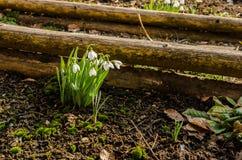 Flores de Snowdrop fotos de archivo libres de regalías