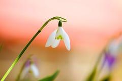 Flores de Snowdrop Foto de Stock Royalty Free