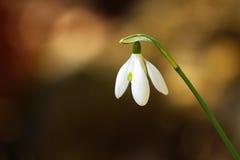Flores de Snowdrop Fotografia de Stock Royalty Free