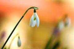 Flores de Snowdrop Foto de Stock