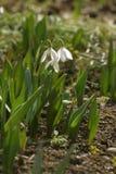 Flores de Snowdrop imagenes de archivo