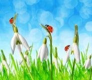 Flores de Snowdrop con las mariquitas en hierba imagenes de archivo