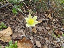 Flores de Snowdrop de Yakutia Fotografía de archivo libre de regalías
