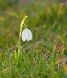 Flores de Snowdrop en archivado foto de archivo libre de regalías