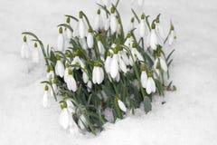 Flores de Snowdrop en nieve Imagen de archivo