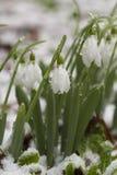 Flores de Snowdrop en nieve después de heladas de la primavera Fotografía de archivo