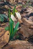 Flores de Snowdrop en primavera temprana fotos de archivo