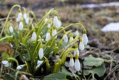 Flores de Snowdrop na manhã, foco macio A primeira mola floresce flores no jardim imagens de stock royalty free