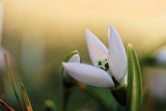 Flores de Snowdrop na mola foto de stock