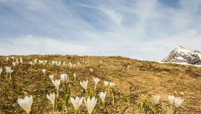 Flores de Snowdrop no prado Foto de Stock Royalty Free