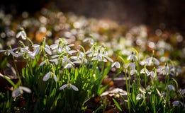 Flores de Snowdrop por mañana Fotos de archivo libres de regalías