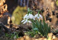 Flores de Snowdrop que anuncian la primavera Imagen de archivo