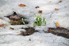 Flores de Snowdrops Imagem de Stock