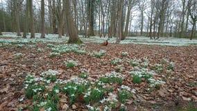 Flores de Snowdrops con el faisán Imágenes de archivo libres de regalías
