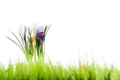 Flores de Snowdrops na grama verde Foto de Stock