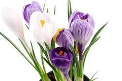 Flores de Snowdrops na grama verde Imagem de Stock