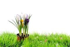 Flores de Snowdrops na grama verde Foto de Stock Royalty Free