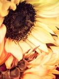 Flores DE Sol Stock Fotografie