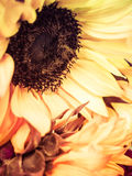 Sunflower Blooms. Muted and cross processed stock photography