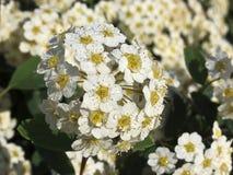 Flores de Spirea fotos de stock