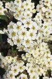 Flores de Spirea Imagens de Stock Royalty Free