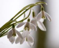 Flores de Sprin Imagem de Stock