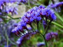 Flores de Statice Foto de archivo libre de regalías