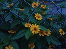 Flores de Sun imagen de archivo libre de regalías