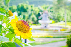 Flores de Sun imagem de stock royalty free