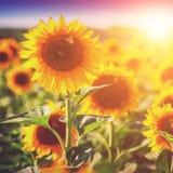 Flores de Sun imágenes de archivo libres de regalías