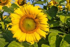 Flores de Sun Imagens de Stock Royalty Free