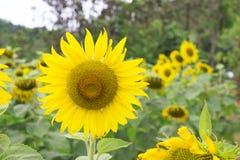 Flores de Sun Fotos de archivo