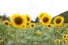 Flores de Sun Fotografía de archivo libre de regalías