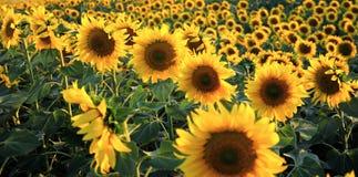 Flores de Sun Imagens de Stock