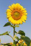 Flores de Sun com céu azul Imagem de Stock