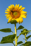Flores de Sun com céu azul Fotos de Stock