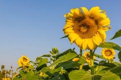 Flores de Sun com céu azul Imagens de Stock