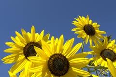Flores de Sun en un día asoleado. Fotografía de archivo